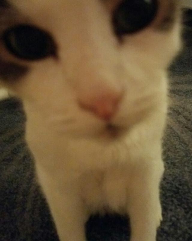 Hello everybody! Meeeoooowwww! #cat #kittyplaytime  #kitty  #cuteness  #cute #furbabymodel #dpcpets #FreeToEdit