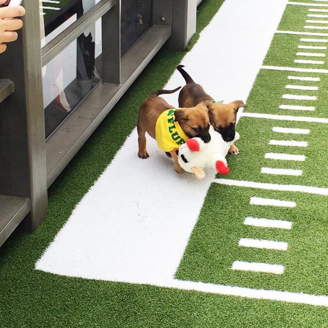 #FreeToEdit #puppybowl #superbowl #biggame