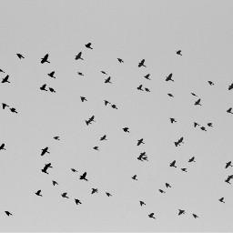 freetoedit myphoto blackandwhite birds