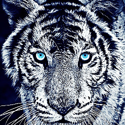 tiger bigcat blackandwhite blueeyes thoseeyes FreeToEdit