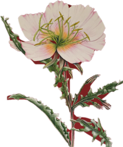 poppy flower illustration flora