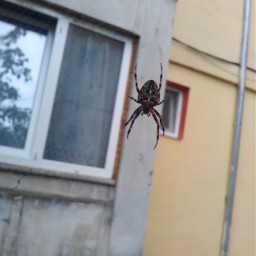 housespider spider web