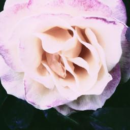 pinkrose rose flowers aesthetic aesthetics aestheticedit pinktheme pink pinkfilter grunge pretty freetoedit